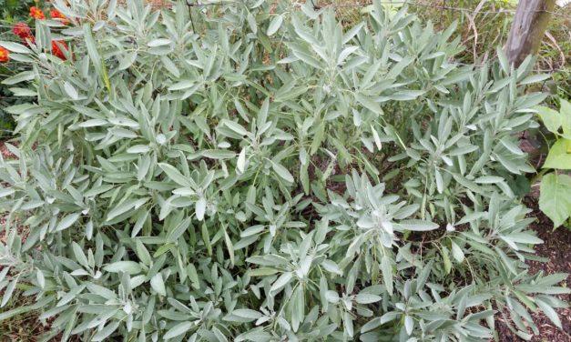 The Backyard Herb Garden