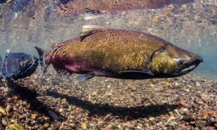 """""""American Salmon"""" by Rudyard Kipling"""
