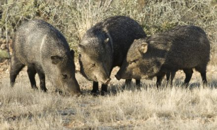 """A Peccary Hunt on the Nueces"""