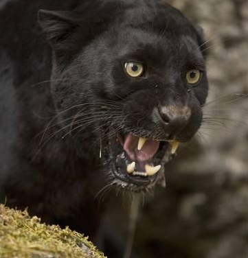 The Chase of the Panther (Part 1)