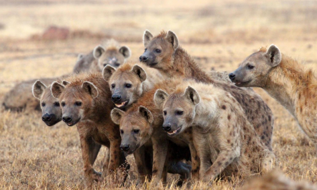 Notes on the Spotted Hyena